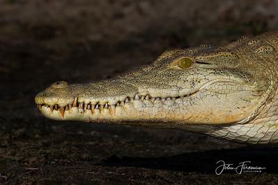 Nile Crocodile, Selous