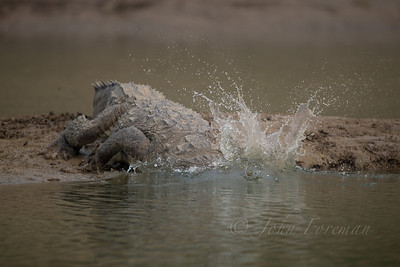 Crocodile, Chambal River