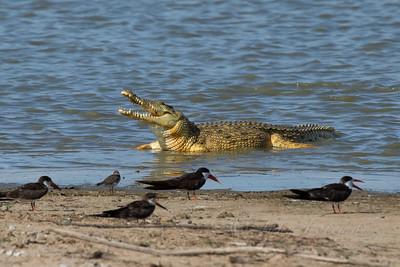 Crocodile, Selous