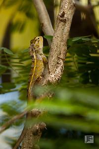Oriental Garden Lizard, Kumaracom