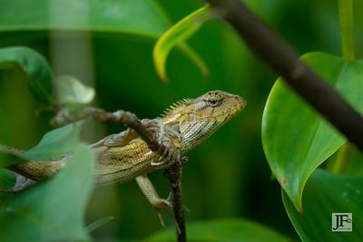 Oriental Garden Lizard, Singapore