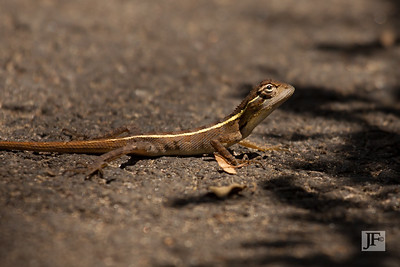 Common Garden Lizard, Kumaracom