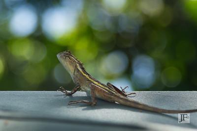 Common Garden Lizard, Yala