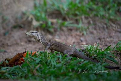 Land Monitor lizard, Hikkaduwa