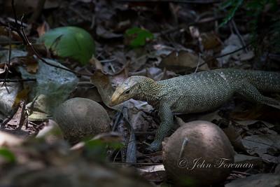 Clouded Monitor Lizard, Pulau Ubin