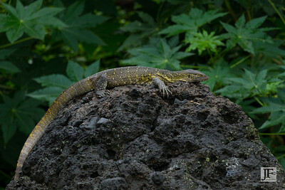 Nile Monitor Lizard, Lake Victoria