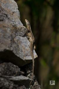 Wall lizard, Gers