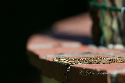 Wall Lizard, South France