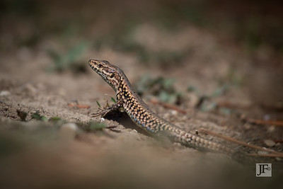 Wall Lizard, Luberon