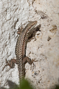 Wall Lizard, South France