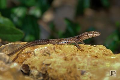 Wall Lizard, Cabris
