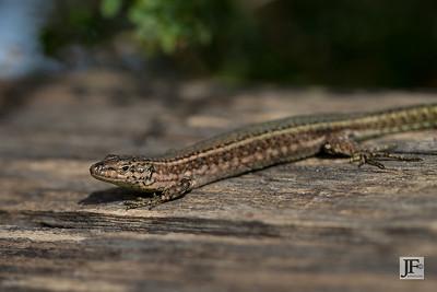 Andalusian Wall Lizard, Mijas Costa