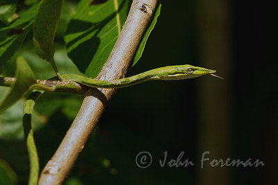 Green Vine snake, Yala