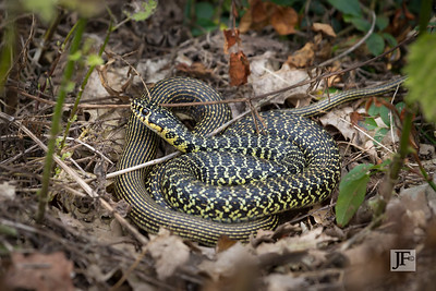 Western Whip Snake, Gers