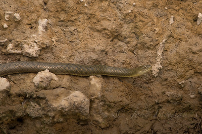 Indian Smooth snake, Chambal river