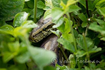 Rock python, Kenya