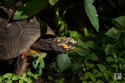 Red-legged tortoise