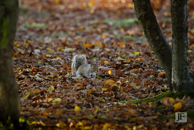 Grey Squirrel, New Forest