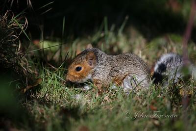 Baby Grey Squirrel, Keyhaven