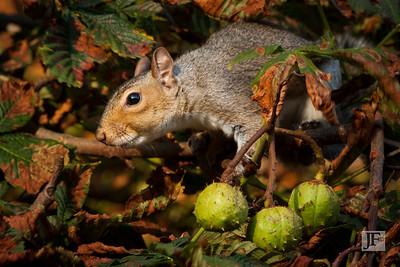 Grey Squirrel, Suffolk