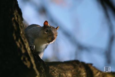 Grey Squirrel, Stour Valley