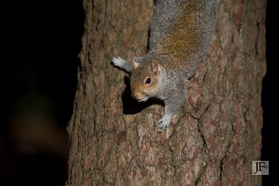 Grey Squirrel, Bournemouth