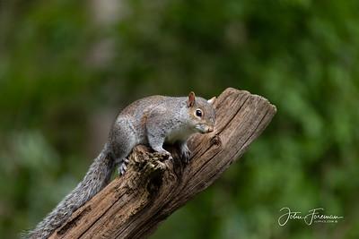 Grey Squirrel, East Sussex
