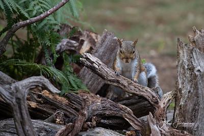 Grey Squirrel, Dorset