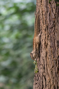 Indian Palm Squirrel, Chambal