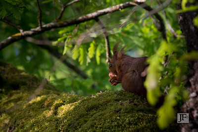Red Squirrel, Gers