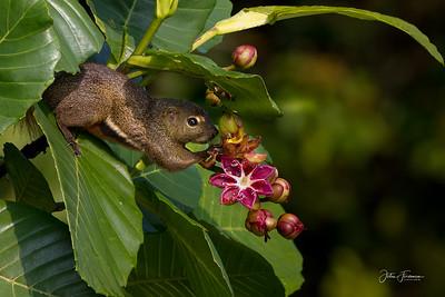 Plantain Squirrel, Singapore