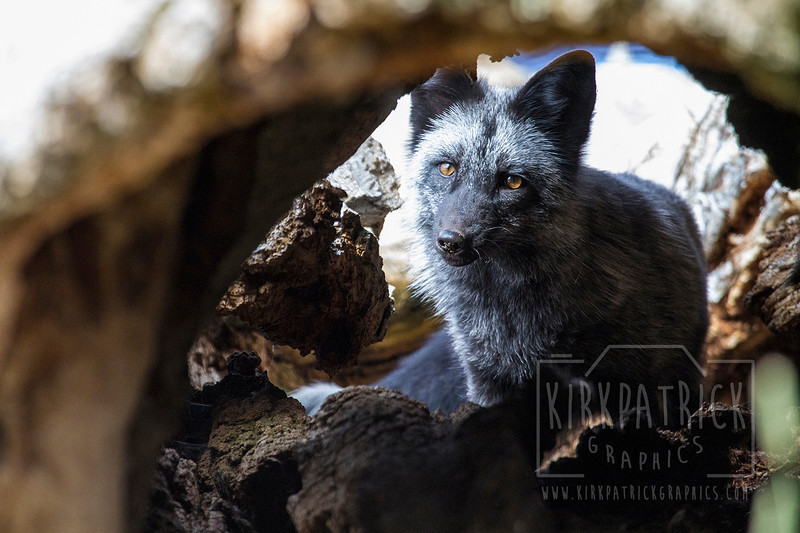 Fox - Photographed at Earthfire Institute near Driggs, Idaho.  <br /> Photo by: Ryan Kirkpatrick