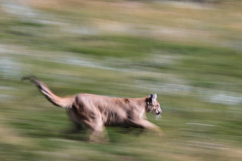 Mountain Lion - Photographed at Earthfire Institute near Driggs, Idaho.  <br /> Photo by: Ryan Kirkpatrick