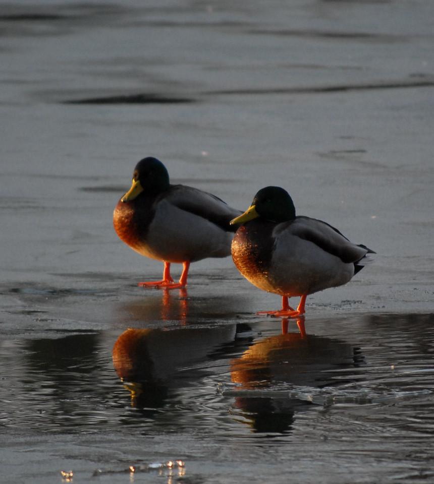 Ducks on Ice.