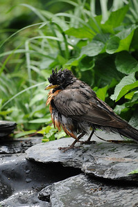 A Robin after a swim.