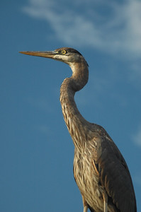 Heron sitting on my garage roof --- apparently waiting to eat the fish in my pond.
