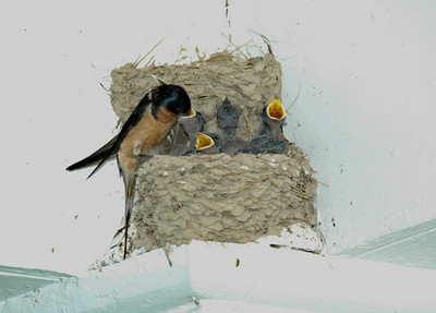 Sherwood Forest Plantation -- barn swallows at feeding time.