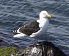 ab3 kelp gull