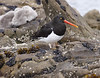 a7 MagellanicOystercatcher
