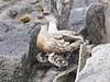 a9 PatagonianCrestedDuck