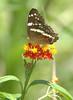 ButterflyCosta