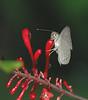 ButterflyCostaRica (1)