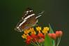 ButterflyCostaRica07