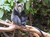 Sykes Blue Monkey Lake Manyara.  He does LOOK as if he HAS the blues.