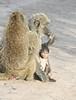 Baboons (2)