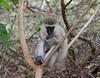 Vervet Monkey Lake Manyara Tanzania