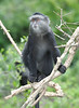 Sykes Blue Monkey in the Mara of Kenya