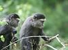 Sykes Blue Monkey Mara Kenya