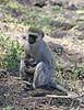 Vervet mother and baby.  Grumeti Tanzania