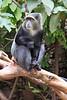 Sykes Blue Monkey Lake Manyara